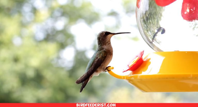 What Do Hummingbirds Eat ? All That You Need To Know !