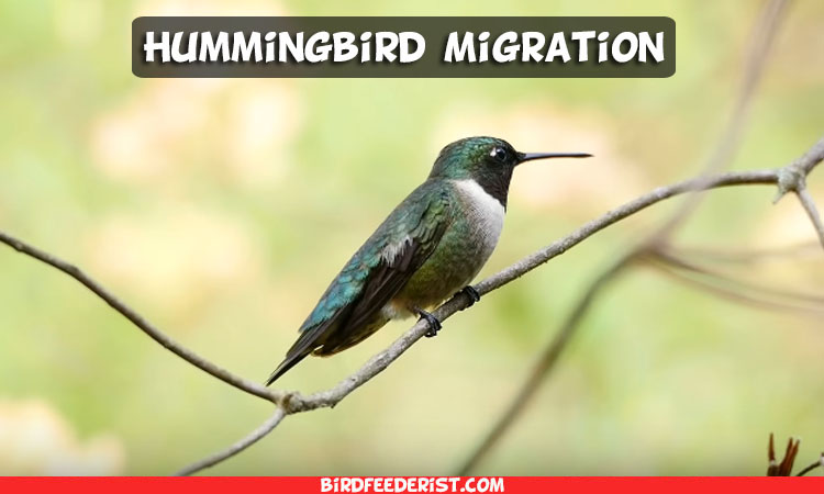 Hummingbird Migration of all Species in Spring, Fall & Winter Season | Complete Guide 2020