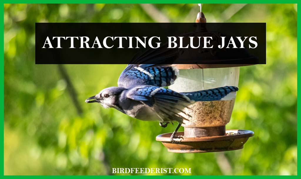 How to attract the Blue Jays in the garden