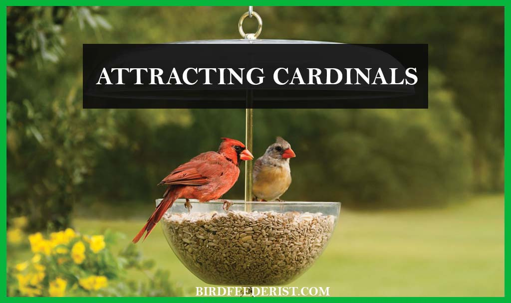 How to attract the Cardinals in the garden