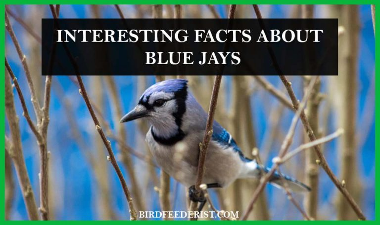 What are the interesting facts about the Blue Jays? by BirdFeederist
