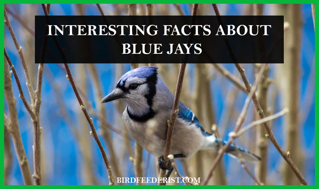 interesting facts about the Blue Jays