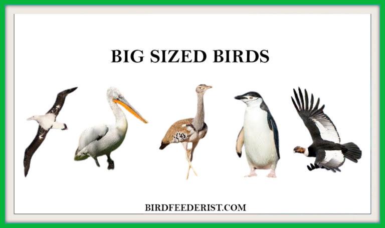 The 8 Most Popular Big Sized large Birds by Birdfeederist
