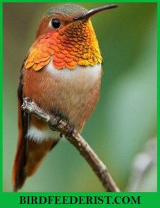 Allen's Hummingbird