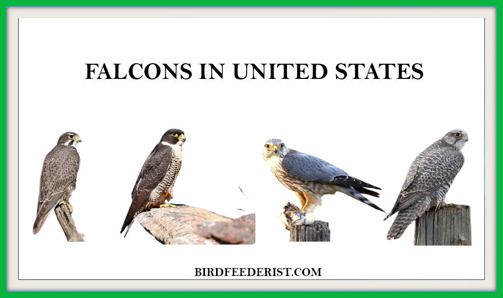FALCONS IN UNITED STATES