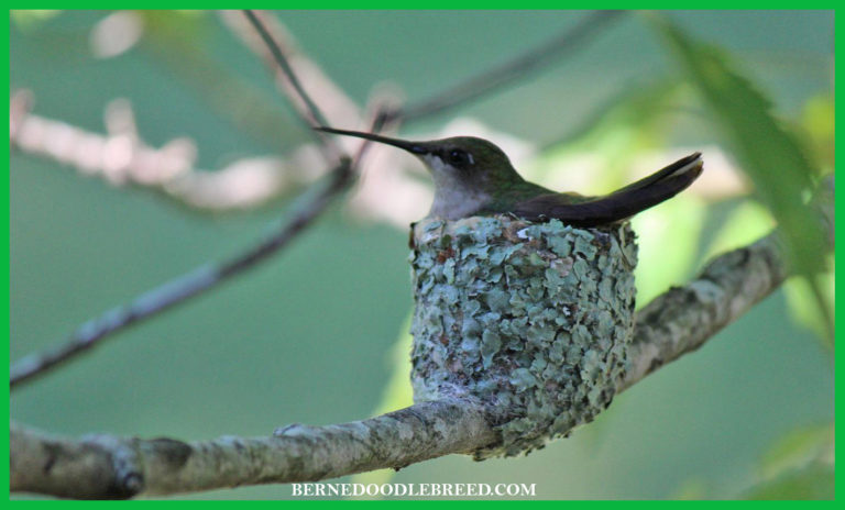 Hummingbird nest / 8 Fun facts you should know
