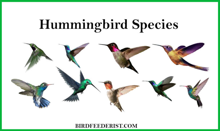 Hummingbird Species /10 most common Hummingbird species