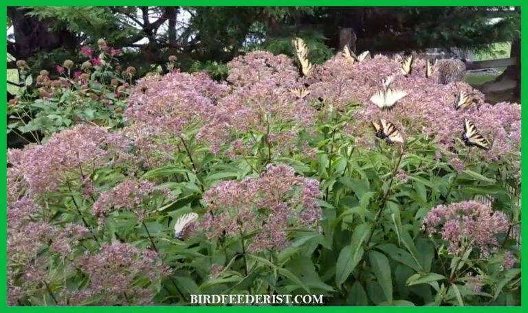 Joe Pye Weed 101 – How & why to grow this native plant?
