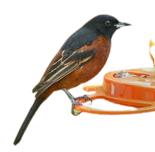 Orchards orioles