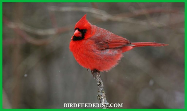 What does it mean when you see a cardinal Bird? by BirdFeederist