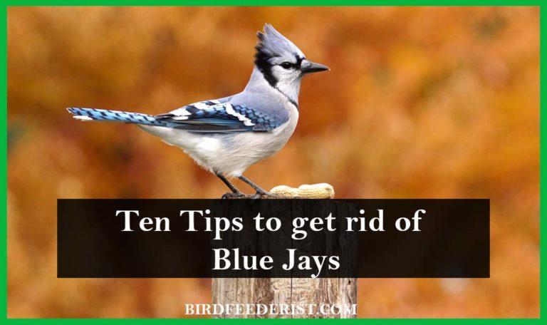 How to Get Rid of Blue Jays? by BirdFeederist